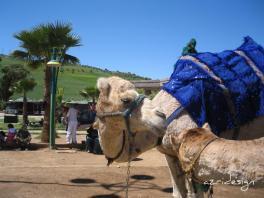 Moroccan camel, Fes, Morocco, 2009