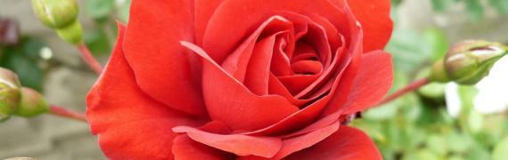 A l'intérieur de chaque âme se trouve une Rose