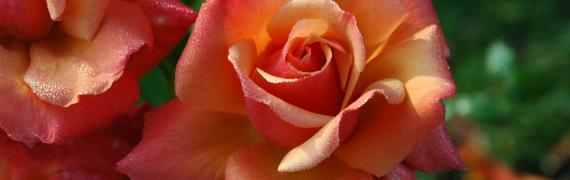La Rose, l'Aubépine et le Lys