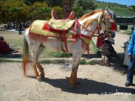 Cheval marocain, Fes, Morocco, 2009