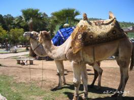 Happy Moroccan camels, Fes, Morocco, 2009